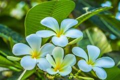Belles fleurs blanches de rubra de Plumeria parmi la verdure tropicale photos stock
