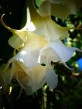 Belles fleurs blanches et crèmes toxiques de datura Photographie stock libre de droits