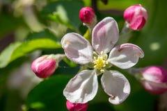 Belles fleurs blanches et roses sur la branche de pommier Jardin de pommier de Bloomimg au printemps Fleur et concept de jardinag images libres de droits