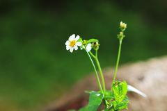 Belles fleurs blanches fleurissant dans les domaines au printemps photographie stock
