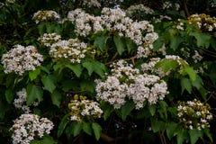 Belles fleurs blanches fleurissant sur la fleur d'arbre de ˆtung de ¼ de treeï photos libres de droits