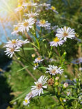 Belles fleurs blanches sauvages de camomille Photo libre de droits