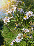 Belles fleurs blanches sauvages de camomille Images libres de droits