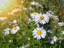 Belles fleurs blanches sauvages de camomille Photo stock