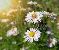 Belles fleurs blanches sauvages de camomille Photos stock