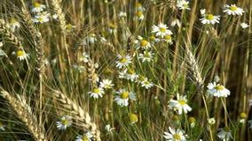 Belles fleurs blanches sauvages de camomille balançant dans le vent parmi les oreilles du blé un jour ensoleillé d'été clips vidéos