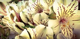 Belles fleurs blanches tropicales photo stock