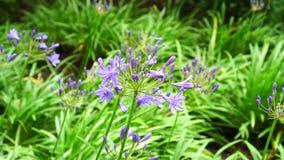 Belles fleurs bleues dans un parterre en parc flottant dans le vent banque de vidéos