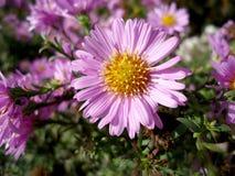Belles belles fleurs bleues de floraison parfumées fraîches d'aster dans le jardin d'été image libre de droits