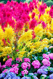 Belles fleurs colorées Image libre de droits