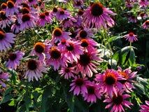 Belles fleurs décoratives dans le jardin d'été sélénium pourpre de Terry de grande fleur de Bush Photographie stock
