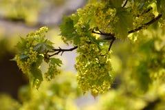 Belles fleurs d'arbre d'érable au printemps Images stock