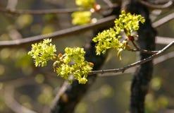 Belles fleurs d'arbre d'érable au printemps Photographie stock libre de droits