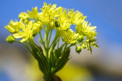 Belles fleurs d'arbre d'érable au printemps Photo libre de droits