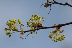Belles fleurs d'arbre d'érable au printemps Images libres de droits