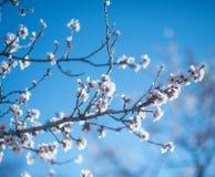 Belles fleurs d'arbre d'amande images libres de droits