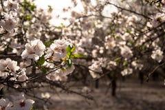 Belles fleurs d'arbre d'amande de floraison pendant le premier ressort au-dessus du fond d'un champ naturel photo libre de droits