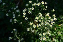 Belles fleurs d'herbe en soleil lumineux Utilisation comme fond d'image Photographie stock