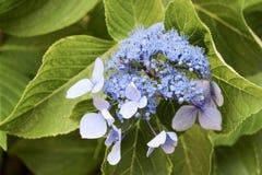 Belles fleurs d'hortensia en nature image libre de droits