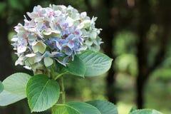 Belles fleurs d'hortensia en nature photos libres de droits