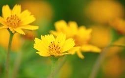 Belles fleurs dailsy de Singapour fraîches dans le jardin photographie stock libre de droits