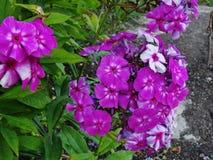 Belles fleurs dans le jardin d'été pourpre cinq lumineux avec le phlox de fleurs blanches Images libres de droits
