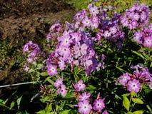 Belles fleurs dans le jardin d'été pourpre de cinq-lumière avec des fleurs d'un centre de blanc de phlox Images libres de droits