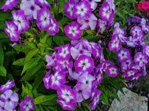 Belles fleurs dans le jardin d'été pourpre de cinq-lumière avec les fleurs centrales blanches du phlox Images stock