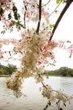 Belles fleurs de bakeriana Craib de casse ou d'arbre de douche rose en Thaïlande Images libres de droits
