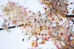 Belles fleurs de bakeriana Craib de casse ou d'arbre de douche rose en Thaïlande Photographie stock libre de droits