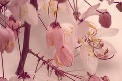 Belles fleurs de bakeriana Craib de casse ou d'arbre de douche rose en Thaïlande Image libre de droits