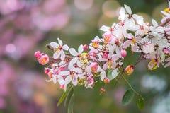 Belles fleurs de bakeriana Craib de casse ou d'arbre de douche rose en Thaïlande Photos libres de droits