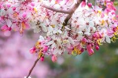 Belles fleurs de bakeriana Craib de casse ou d'arbre de douche rose en Thaïlande Photo stock