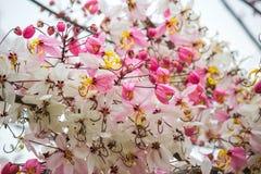 Belles fleurs de bakeriana Craib de casse ou d'arbre de douche rose en Thaïlande Photo libre de droits
