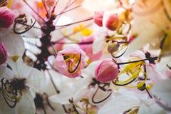 Belles fleurs de bakeriana Craib de casse ou d'arbre de douche rose en Thaïlande Photographie stock