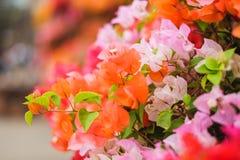 Belles fleurs de bouganvillée fleurissant dans le jardin photo libre de droits