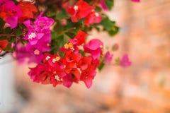 Belles fleurs de bouganvillée fleurissant dans le jardin images libres de droits