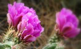 Belles fleurs de cactus de hérisson de Fuscia Photographie stock libre de droits