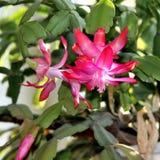 Belles fleurs de cactus de Noël Image libre de droits