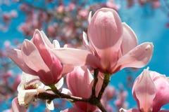 Belles fleurs de cerise Image libre de droits
