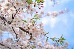 Belles fleurs de cerisier Photos stock