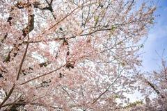 Belles fleurs de cerisier Photo stock