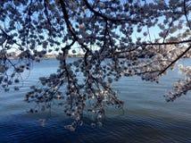 Belles fleurs de cerisier Image libre de droits