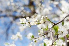 Belles fleurs de cerisier blanches Photographie stock libre de droits