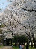 Belles fleurs de cerisier blanches dans Suginami photographie stock