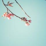 Belles fleurs de cerisier de fleur d'arbre de Sakura de vintage au printemps images stock