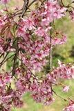 Belles fleurs de cerisier de l'Himalaya sauvages photos libres de droits