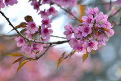 Belles fleurs de cerisier de l'Himalaya sauvages dans le nord de la Thaïlande Photo libre de droits