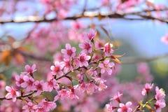 Belles fleurs de cerisier de l'Himalaya sauvages dans le nord de la Thaïlande Photo stock