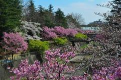 Belles fleurs de cerisier en parc commémoratif de Showa images stock
